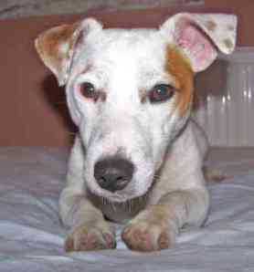 english-jack-russell-terrier-0010